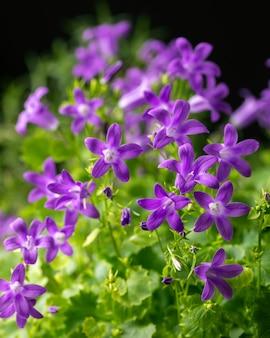 Kwitnący niebieski dzwonek alpejski w naturze, campanula alpina. tle kwiatów. zbliżenie. selektywna ostrość.