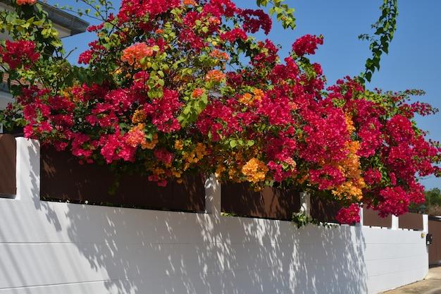 Kwitnący ogród na płocie. wiszące kwiaty przy bramie.
