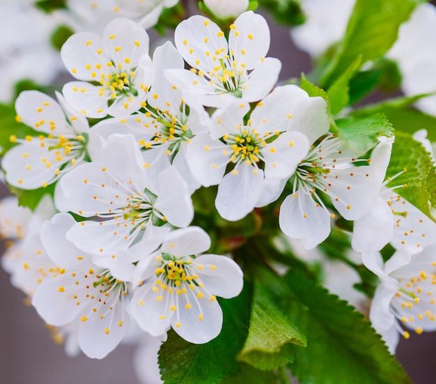 Kwitnący owocowy drzewo w ogródzie.