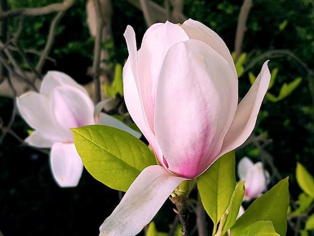 Kwitnący pączek magnolii z dużymi różowymi kwiatami i zielonymi liśćmi w ogrodzie