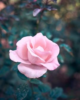 Kwitnący pączek różowej róży