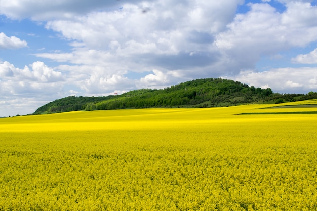 Kwitnący pole rzepaku z błękitne niebo pochmurne. krajobraz przyrody