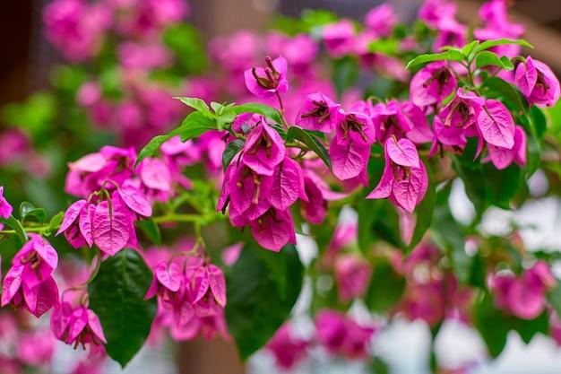 Kwitnący purpurowy kwiat bugenwilli