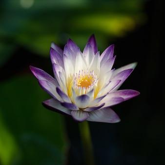 Kwitnący purpurowy kwiat lotosu