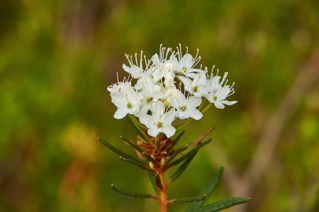 Kwitnący rhododendron tomentosum znany jako bagna herbata labrador