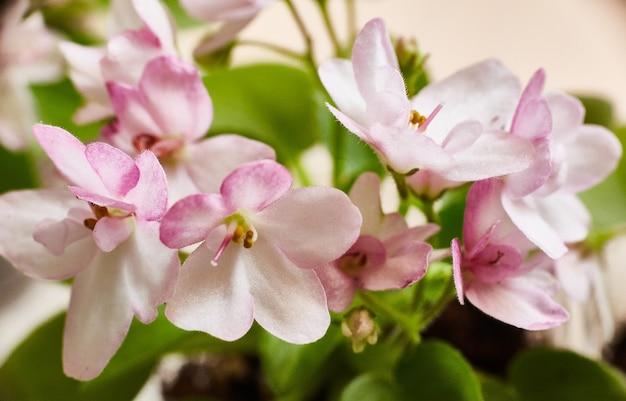 Kwitnący różowy fiołek afrykański. saintpaulia. selektywne ustawianie ostrości.
