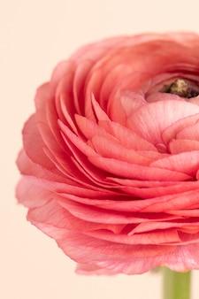 Kwitnący różowy kwiat jaskier