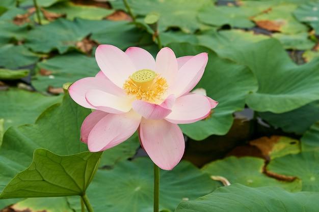 Kwitnący różowy kwiat lotosu na jeziorze, piękny, rzadki kwiat
