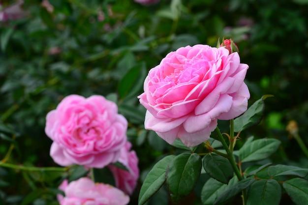 Kwitnący różowy kwiat róży na drzewie w ogrodzie