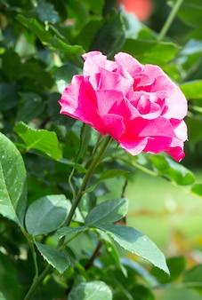 Kwitnący różowy kwiat róży