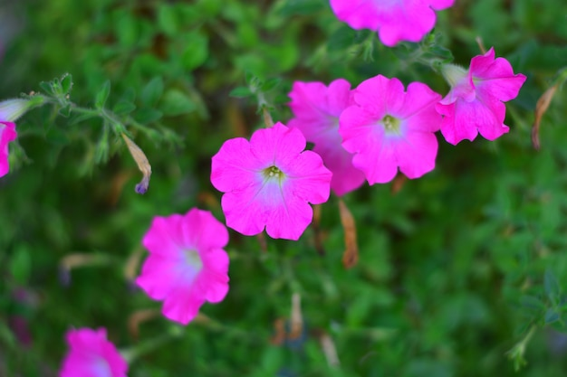 Kwitnący różowy kwiat rzędy zbliżenie na tle