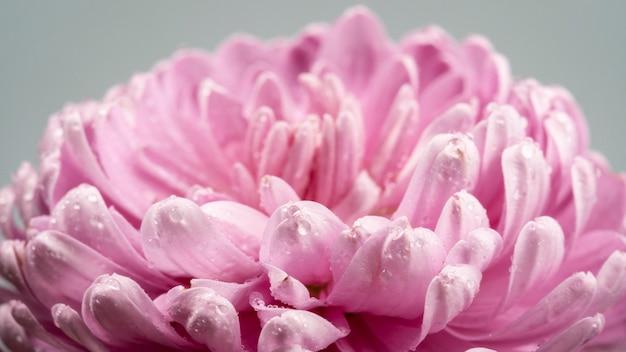 Kwitnący różowy kwiat z mokrymi płatkami