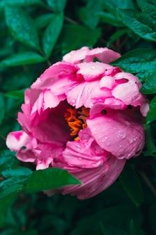 Kwitnący różowy pastelowy kwiat piwonii