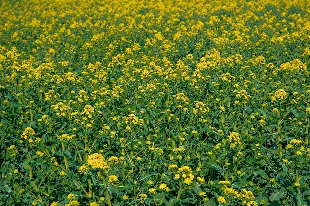 Kwitnący rzepak na polu, zakład produkcji oleju