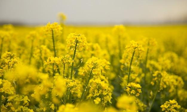 Kwitnący rzepak rzepak zielona energetyka przemysł naftowy kwitnąca przyroda nieostrość