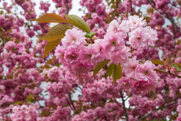 Kwitnący sad na wiosnę