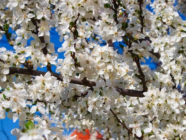Kwitnący śliwkowy drzewo w sping.