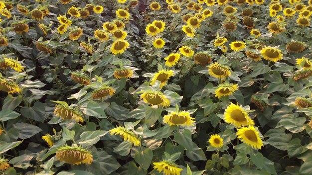 Kwitnący słonecznik w dziedzinie rolnictwa.