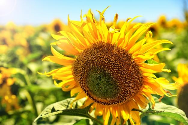 Kwitnący słonecznik w promieniach