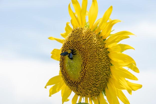 Kwitnący słoneczniki z jedną pszczołą