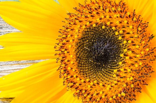 Kwitnący słonecznikowy zakończenie na rocznika drewnianym stole.