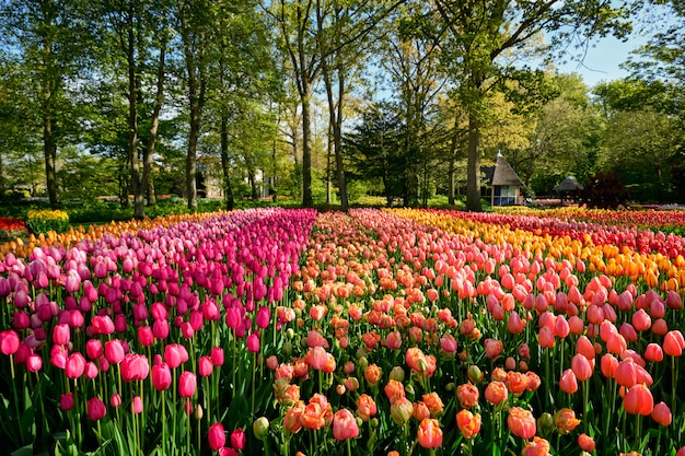 Kwitnący tulipany w kwietniku w ogrodzie kwiatowym keukenhof, holandia