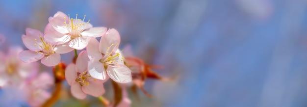 Kwitnący wiśniowy sargent.