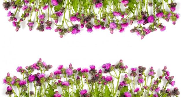 Kwitnący z różowymi i szkarłatnymi kwiatami oset