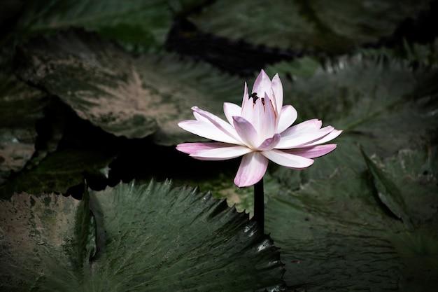 Kwitnący zbliżenie lilia wodna