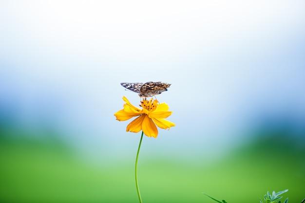 Kwitnący żółty kosmos kwitnie z motylem w niebieskim niebie, dof skutek