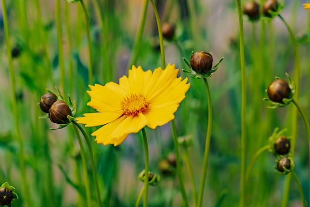 Kwitnący żółty kwiat i pączki na zielonej trawie