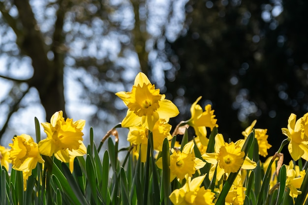 Kwitnący żółty kwiat narcyzów na naturalne tło zamazane pole.