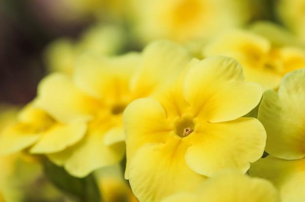 Kwitnący żółty pierwiosnek w wiosennym ogrodzie