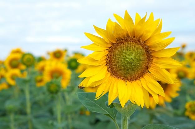 Kwitnący żółty słonecznik z pszczołą