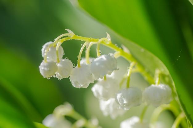 Kwitnących białych kwiatów lilii wśród liści.