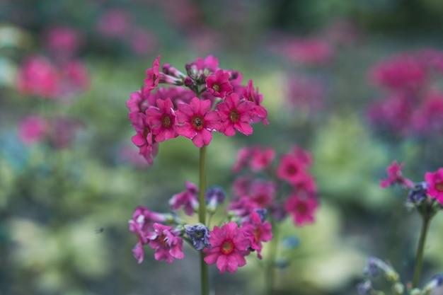 Kwitnie ciemnoczerwony kwiat pierwiosnka