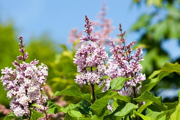 Kwitnie na zielonym krzaku fioletowe kwiaty bzu. zdjęcie z bliska na wiosnę.