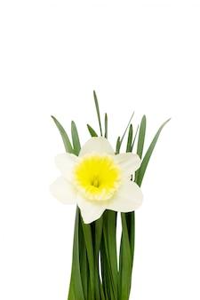 Kwitnie narcyza odizolowywającego na białym tle