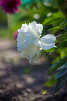Kwitnie peonie na białym tle. selektywna ostrość.