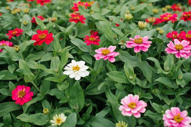 Kwitnie piękne tło białe, szkarłatne i różowe cynie w letnim ogrodzie