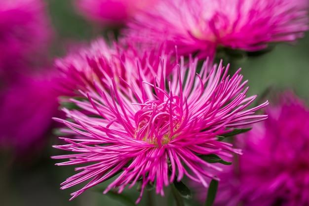 Kwitnie różowego asteru callistephus kwiatu zakończenia igielnego kwiatu vertical. bujne świeże kwiatostany kwitnące jesienią w naturze, na tle delikatnych płatków asteru ogrodowego