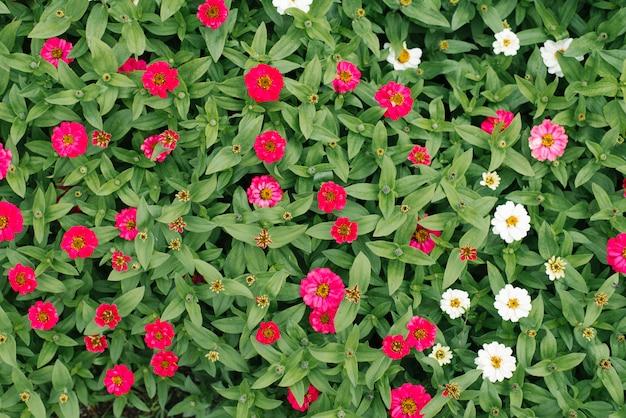 Kwitnie tło białe i różowe cynie w lato ogródzie. widok z góry