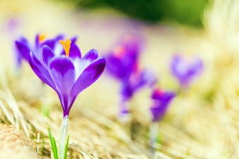Kwitnienia Crocuses Zbliżenie