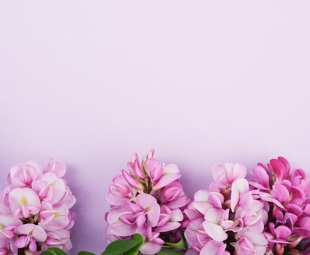 Kwitnienia gałąź robinia neomexicana z różowymi kwiatami na purpurowym tle