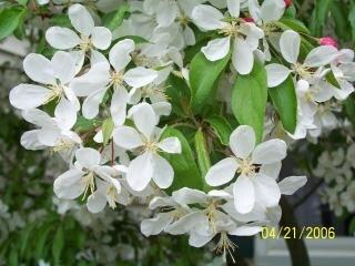Kwitnienia jabłoni kraba
