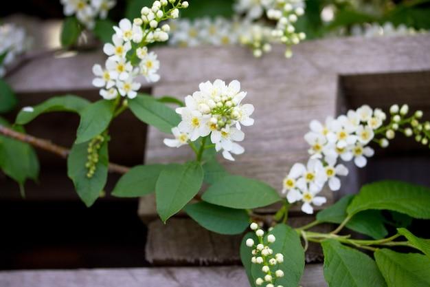 Kwitnienie czeremchy na tle przyrody. wiosenne kwiaty. tło wiosna.