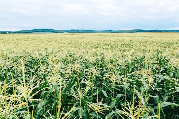 Kwitnienie kukurydzy. przemysł rolny. rośliny zielona kukurydza na niebie