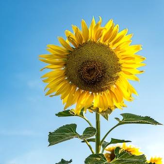 Kwitnienie słonecznika. zbliżenie słonecznika.
