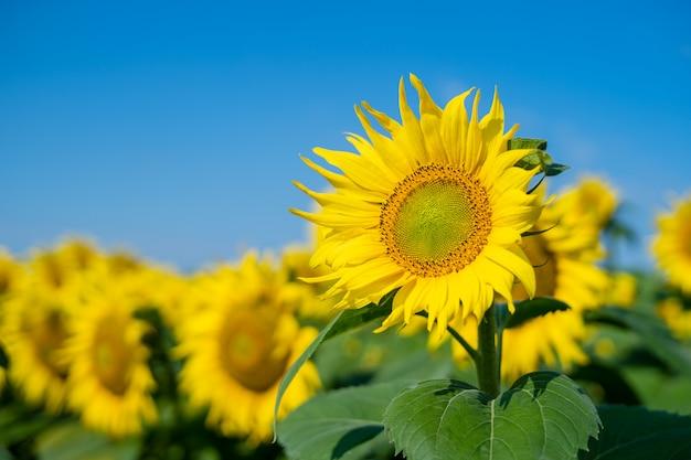Kwitnienie słonecznika