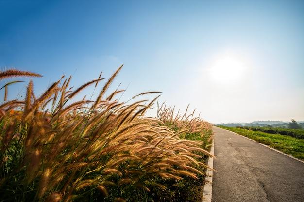 Kwitnienie trawy rano, ciepłe światło słoneczne.